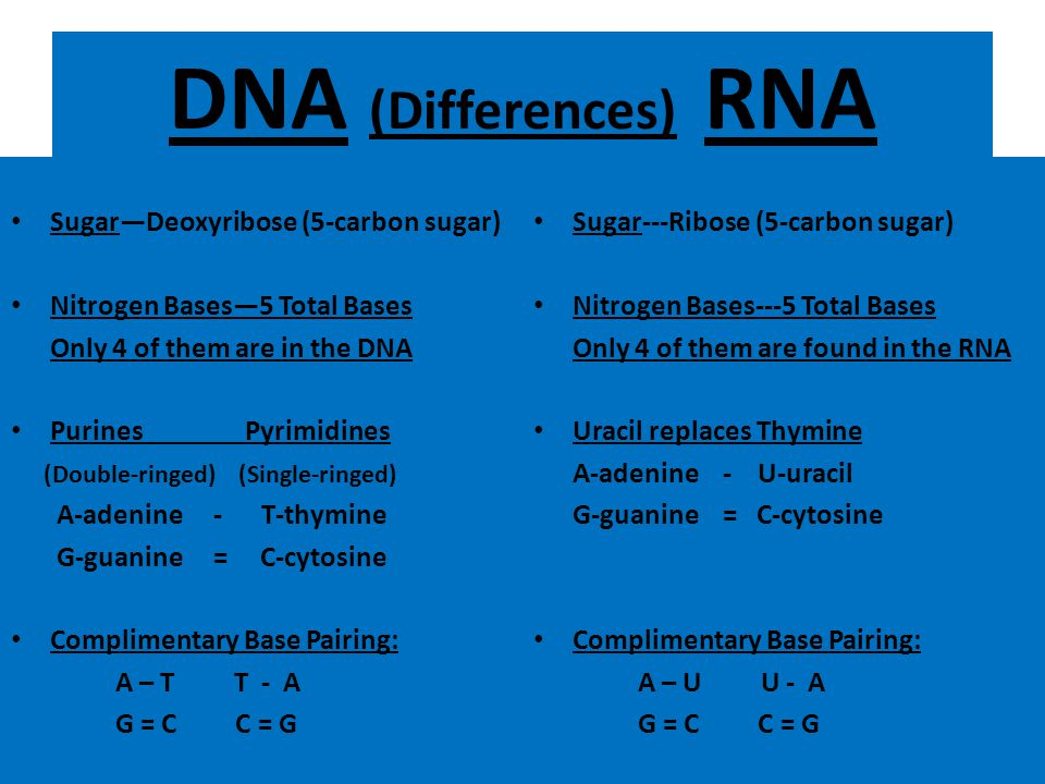 DNA (Differences) RNA Double-stranded – It is found in the nucleus!!! – It is known as the Double Helix It cannot leave the nucleus!!! DNA has the ins