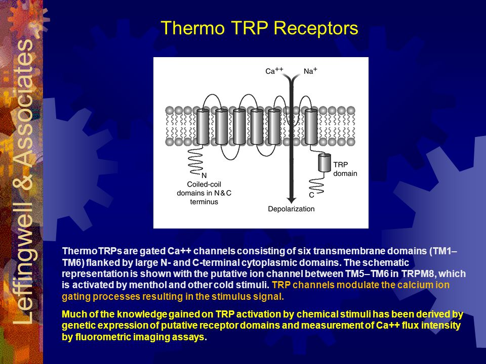 ThermoTRPs are gated Ca++ channels consisting of six transmembrane domains (TM1– TM6) flanked by large N- and C-terminal cytoplasmic domains.
