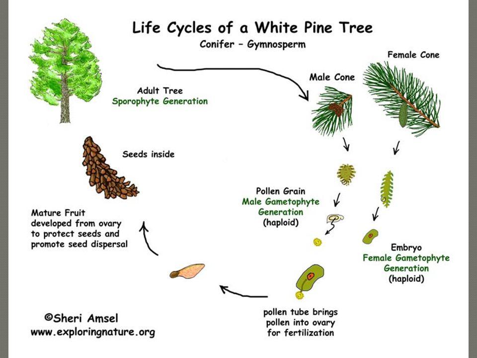  Conifers: