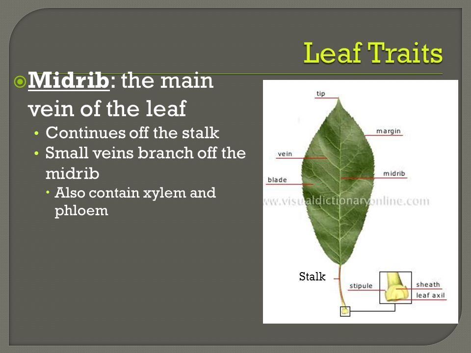  Midrib: the main vein of the leaf Continues off the stalk Small veins branch off the midrib  Also contain xylem and phloem Stalk