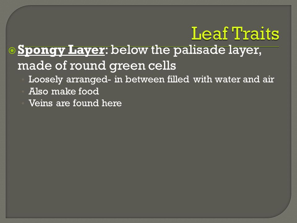  Spongy Layer: below the palisade layer, made of round green cells Loosely arranged- in between filled with water and air Also make food Veins are fo