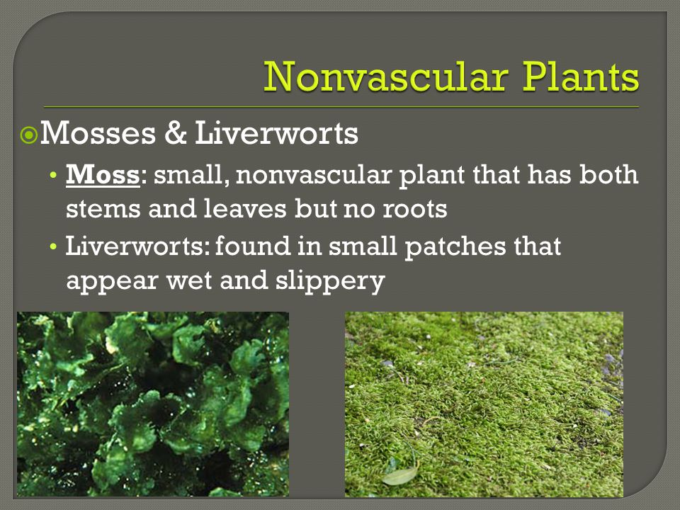  Mosses & Liverworts Moss: small, nonvascular plant that has both stems and leaves but no roots Liverworts: found in small patches that appear wet an