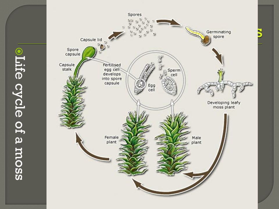  Life cycle of a moss