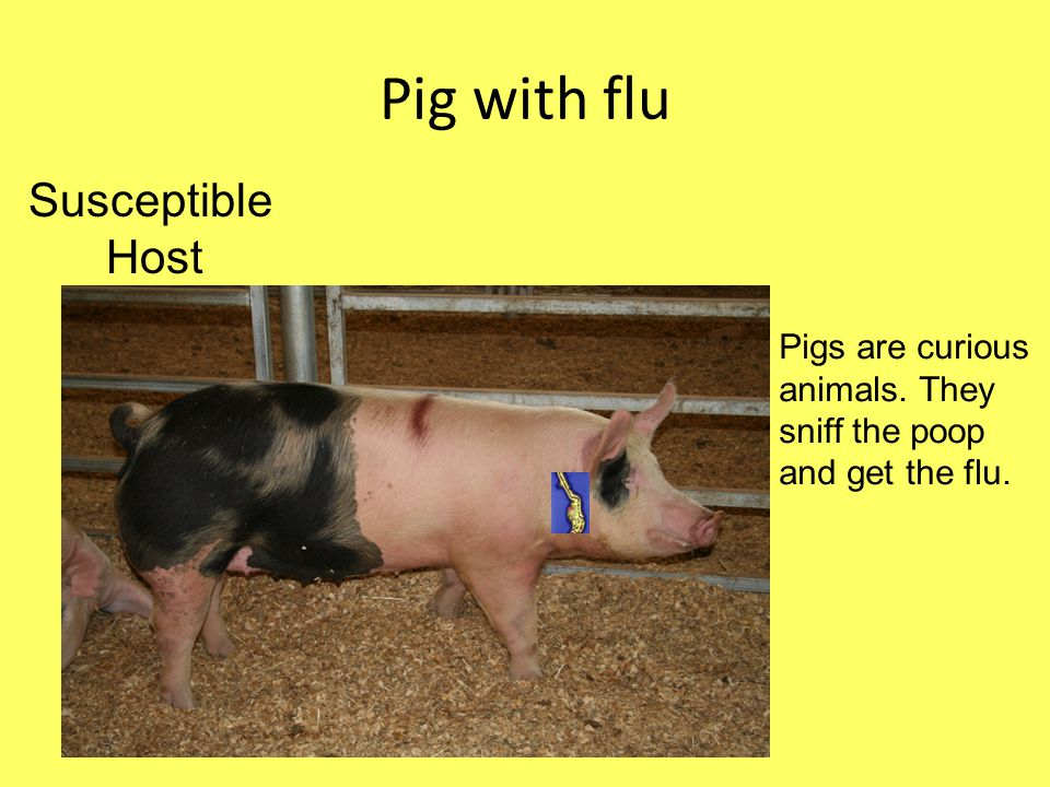 Pig with flu Pigs are curious animals. They sniff the poop and get the flu. Susceptible Host