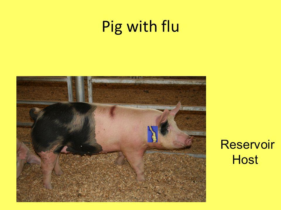 Pig with flu Reservoir Host