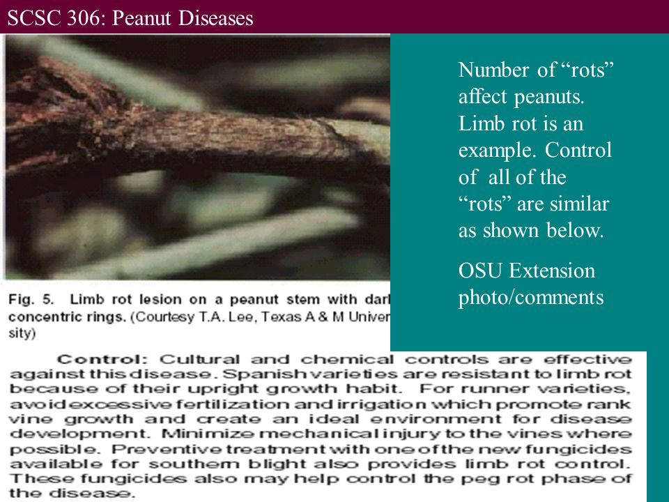 Number of rots affect peanuts. Limb rot is an example.