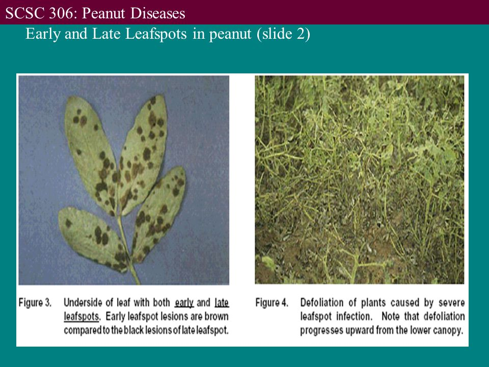 Early and Late Leafspots in peanut (slide 2) SCSC 306: Peanut Diseases