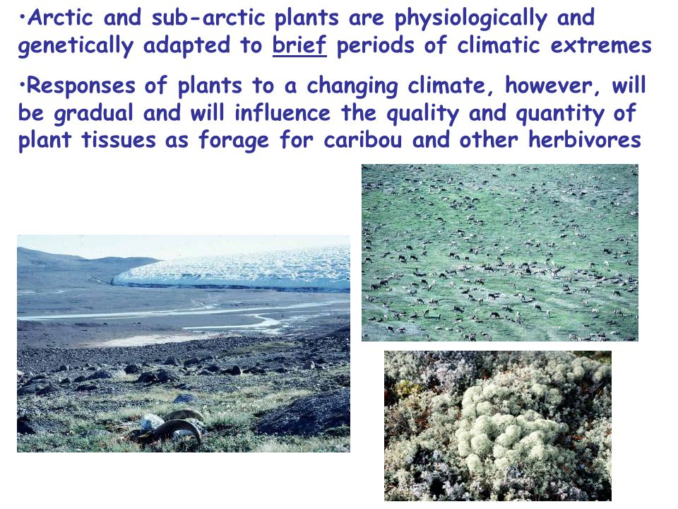 Arctic and sub-arctic plants are physiologically and genetically adapted to brief periods of climatic extremes Responses of plants to a changing climate, however, will be gradual and will influence the quality and quantity of plant tissues as forage for caribou and other herbivores