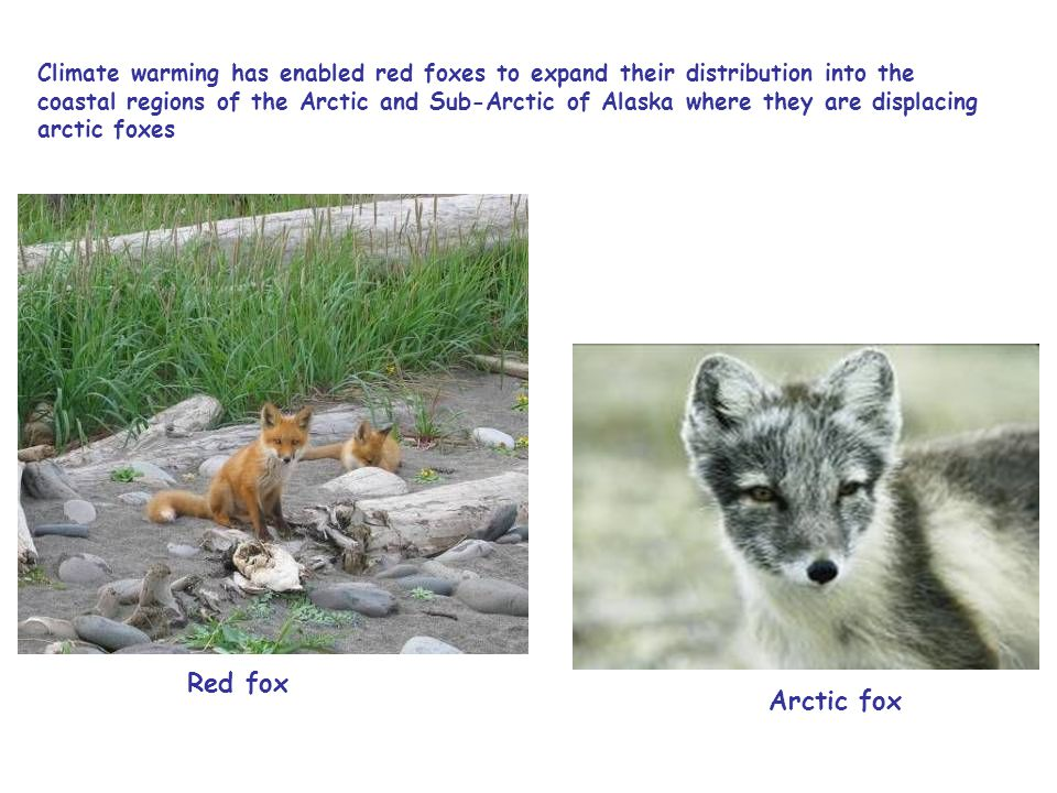 Climate warming has enabled red foxes to expand their distribution into the coastal regions of the Arctic and Sub-Arctic of Alaska where they are displacing arctic foxes Red fox Arctic fox