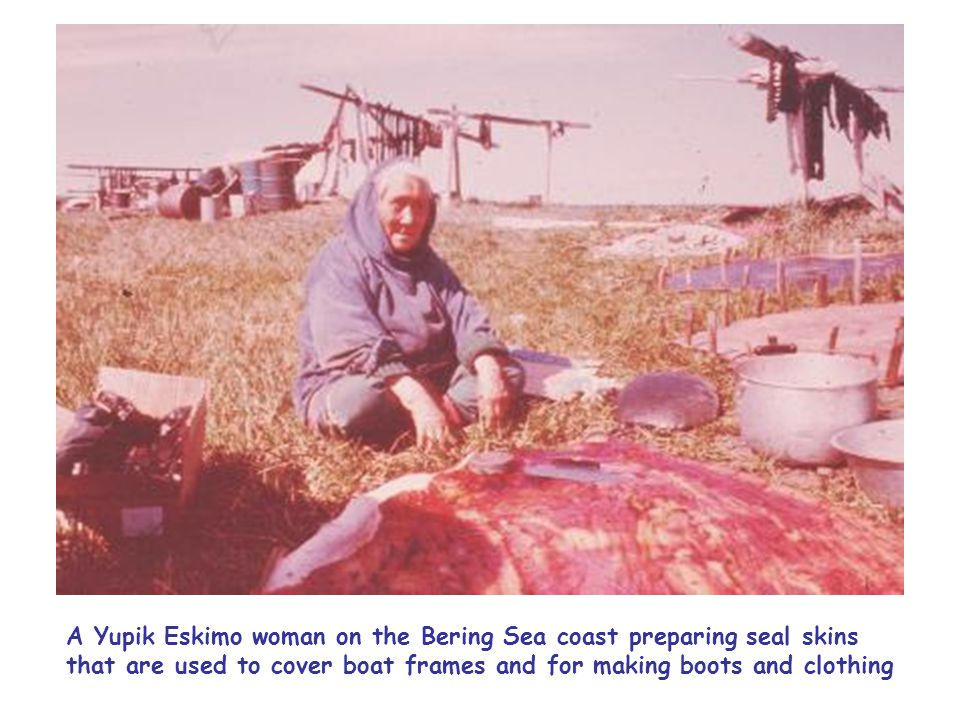 A Yupik Eskimo woman on the Bering Sea coast preparing seal skins that are used to cover boat frames and for making boots and clothing