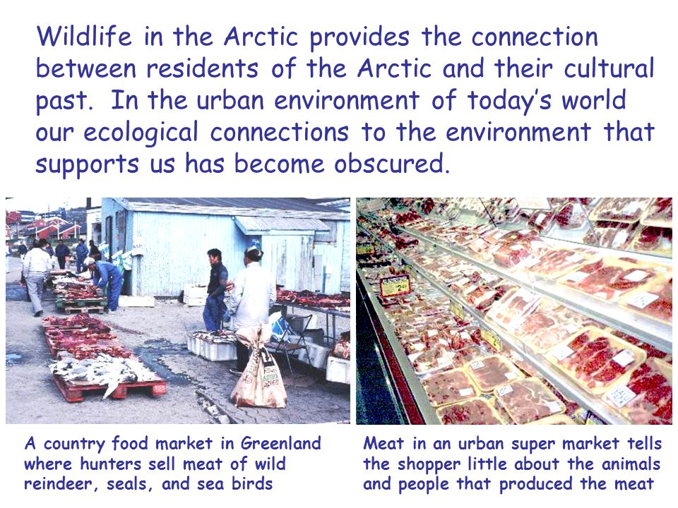 Wildlife in the Arctic provides the connection between residents of the Arctic and their cultural past.