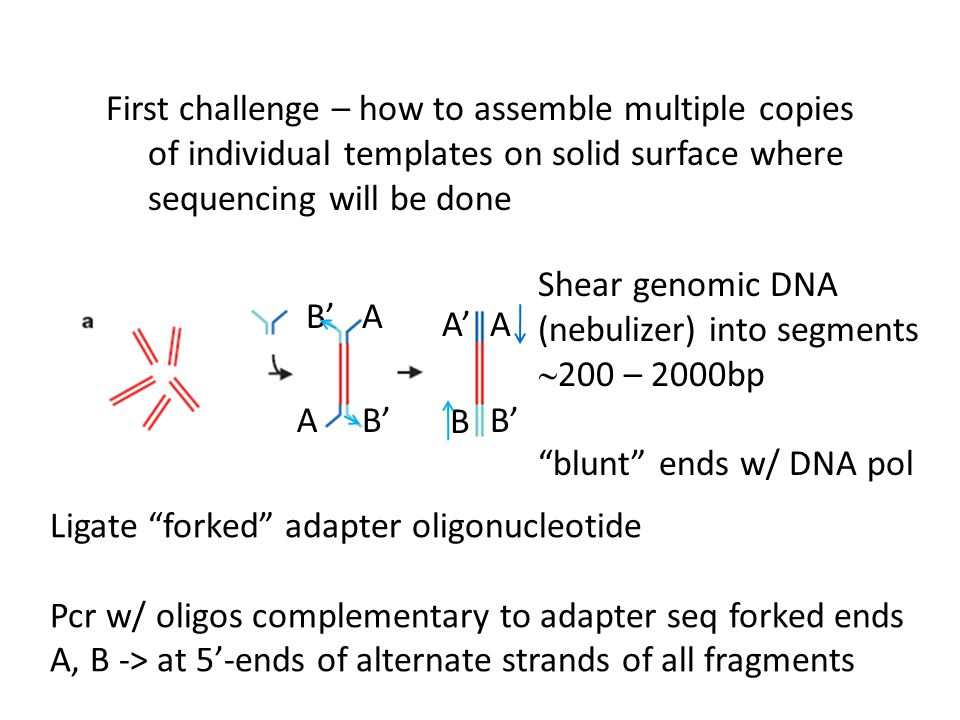 First challenge – how to assemble multiple copies of individual templates on solid surface where sequencing will be done Shear genomic DNA (nebulizer)