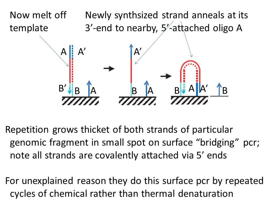 Now melt off template Newly synthsized strand anneals at its 3'-end to nearby, 5'-attached oligo A A BB A' A A A B' Repetition grows thicket of both s