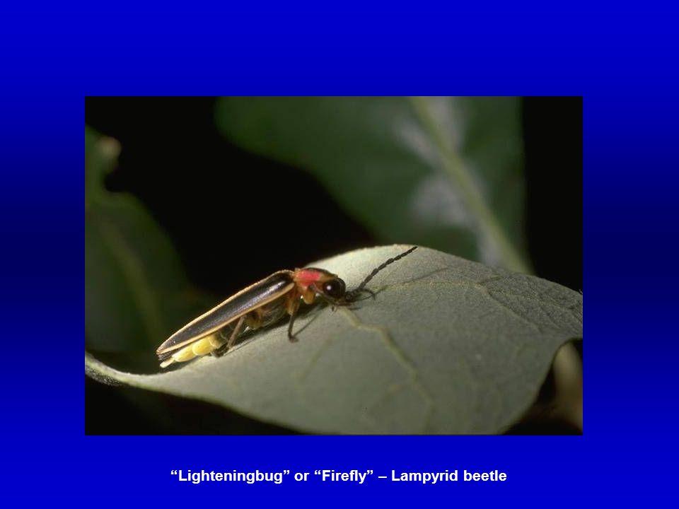 """Lighteningbug"" or ""Firefly"" – Lampyrid beetle"