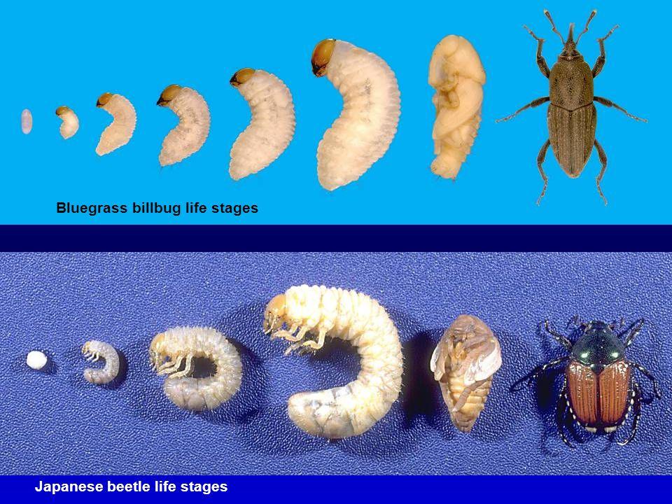 Bluegrass billbug life stages Japanese beetle life stages