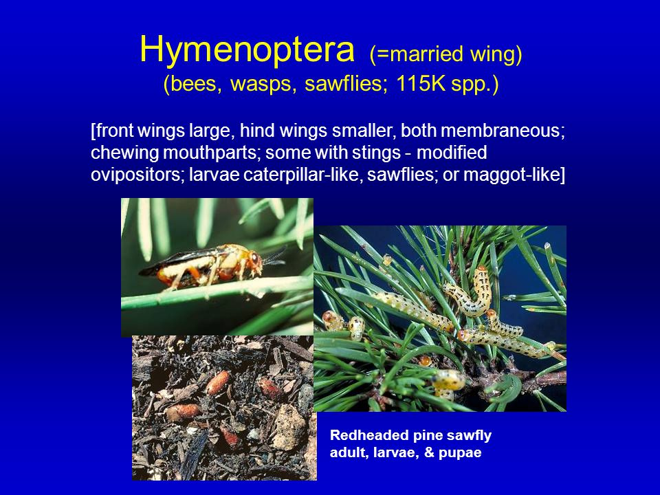 Hymenoptera (=married wing) (bees, wasps, sawflies; 115K spp.) [front wings large, hind wings smaller, both membraneous; chewing mouthparts; some with