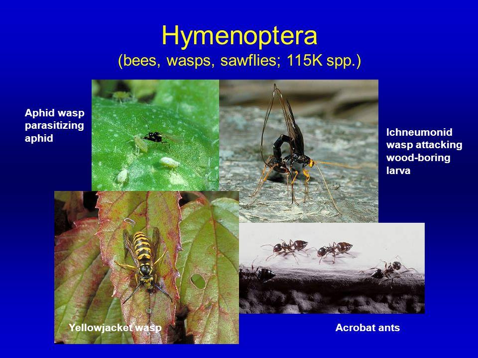 Hymenoptera (bees, wasps, sawflies; 115K spp.) Aphid wasp parasitizing aphid Ichneumonid wasp attacking wood-boring larva Acrobat antsYellowjacket was