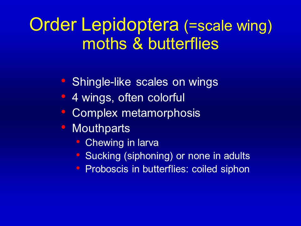 Order Lepidoptera (=scale wing) moths & butterflies Shingle-like scales on wings 4 wings, often colorful Complex metamorphosis Mouthparts Chewing in l