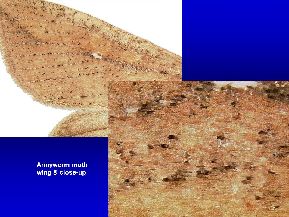 Armyworm moth wing & close-up