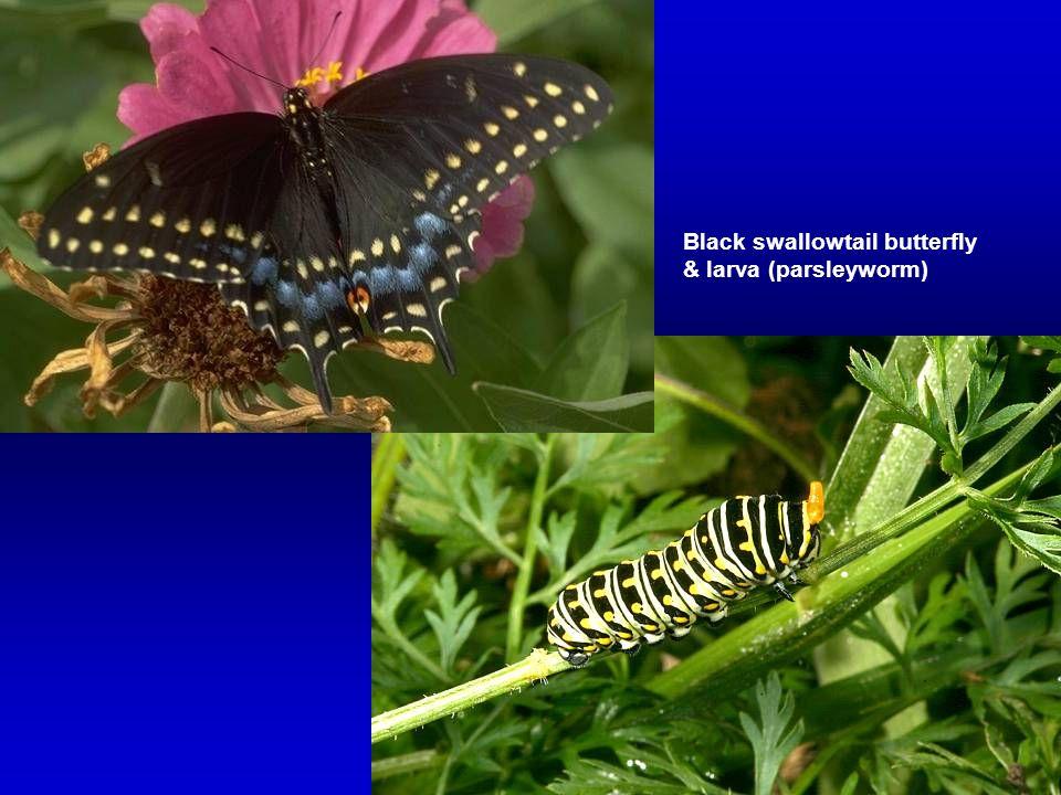 Black swallowtail butterfly & larva (parsleyworm)
