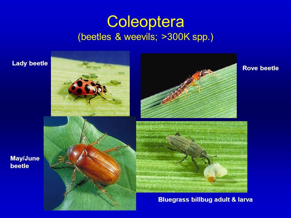 Coleoptera (beetles & weevils; >300K spp.) Lady beetle Rove beetle Bluegrass billbug adult & larva May/June beetle