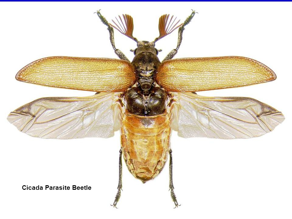Order Trichoptera (=hair wing) caddisflies Adult mothlike, but no scales on wings, just hairs Wings folded roof-like over body Larvae somewhat caterpillar-like, but aquatic Larvae often make cases of sand, small pebbles, or plant material