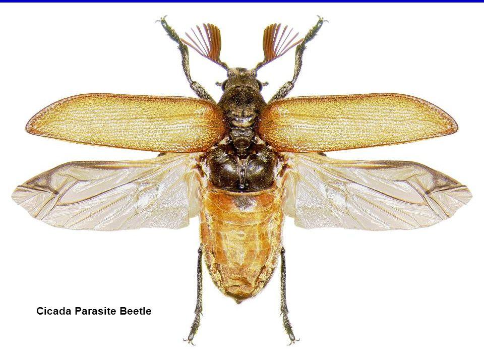 Fiery skipper butterfly – adult, egg, larva & pupa in cocoon