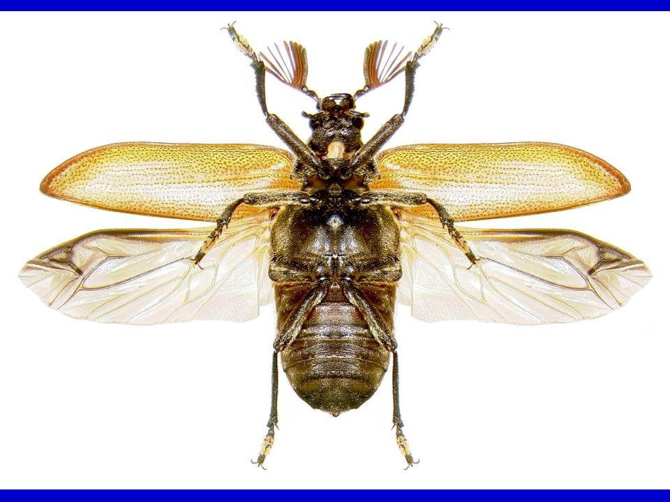 Caterpillar Hunter – a ground beetle