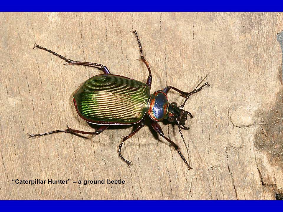 """""""Caterpillar Hunter"""" – a ground beetle"""