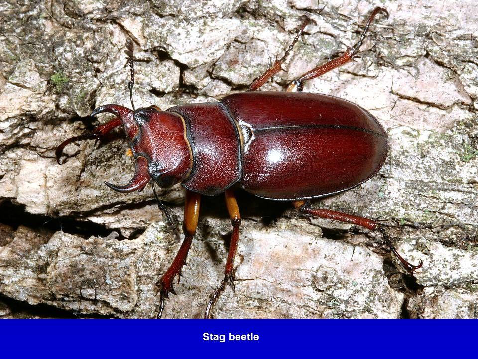 Lighteningbug or Firefly – Lampyrid beetle