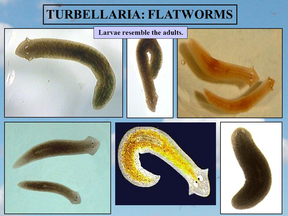 TURBELLARIA: FLATWORMS Larvae resemble the adults.