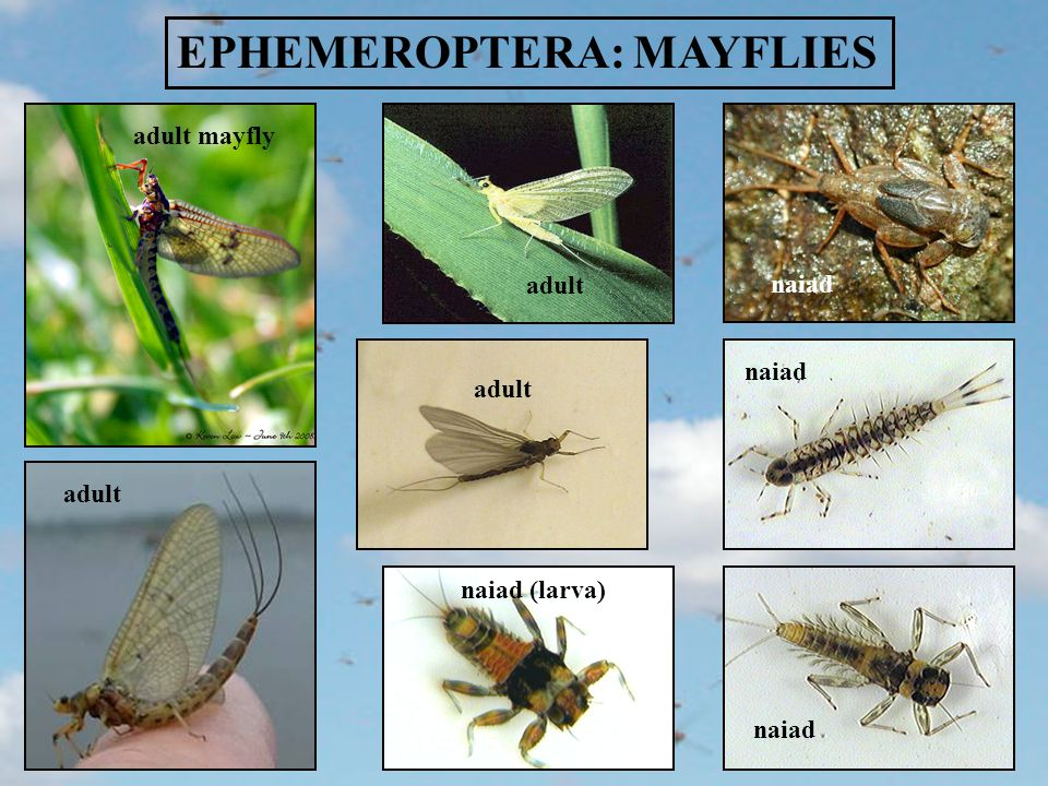 EPHEMEROPTERA LIFECYCLE