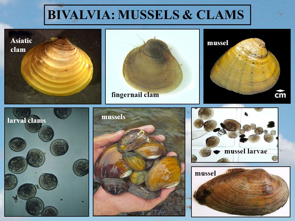 mussels BIVALVIA: MUSSELS & CLAMS Asiatic clam fingernail clam mussel larval clams mussel larvae