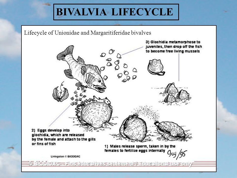 BIVALVIA LIFECYCLE Lifecycle of Unionidae and Margaritiferidae bivalves
