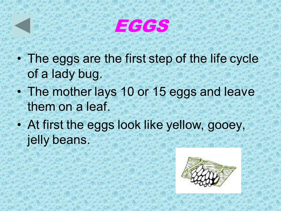 EGGS The eggs are the first step of the life cycle of a lady bug.
