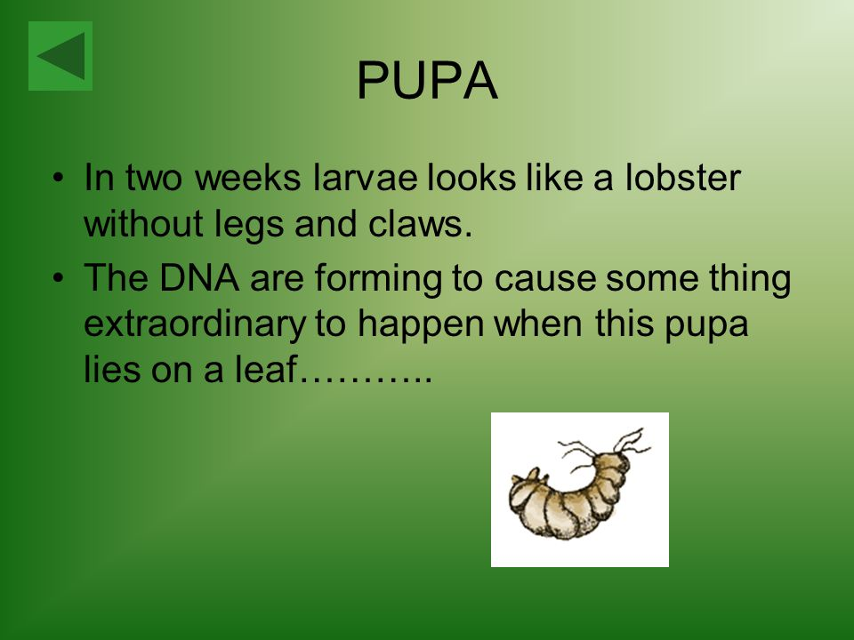 PUPA In two weeks larvae looks like a lobster without legs and claws.