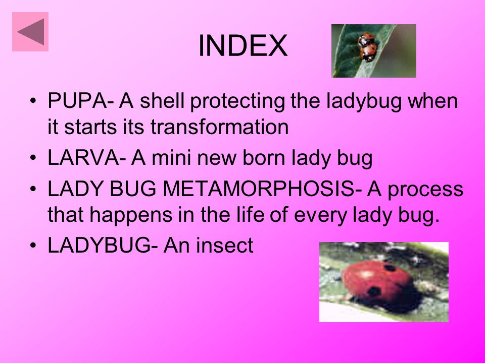 INDEX PUPA- A shell protecting the ladybug when it starts its transformation LARVA- A mini new born lady bug LADY BUG METAMORPHOSIS- A process that happens in the life of every lady bug.