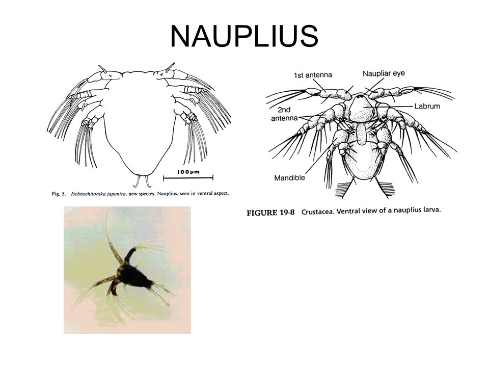 Metanauplius Metanauplius stage follows the nauplius phase Have only three pairs of functional appendages Have additional segments and nonfunctional appendages