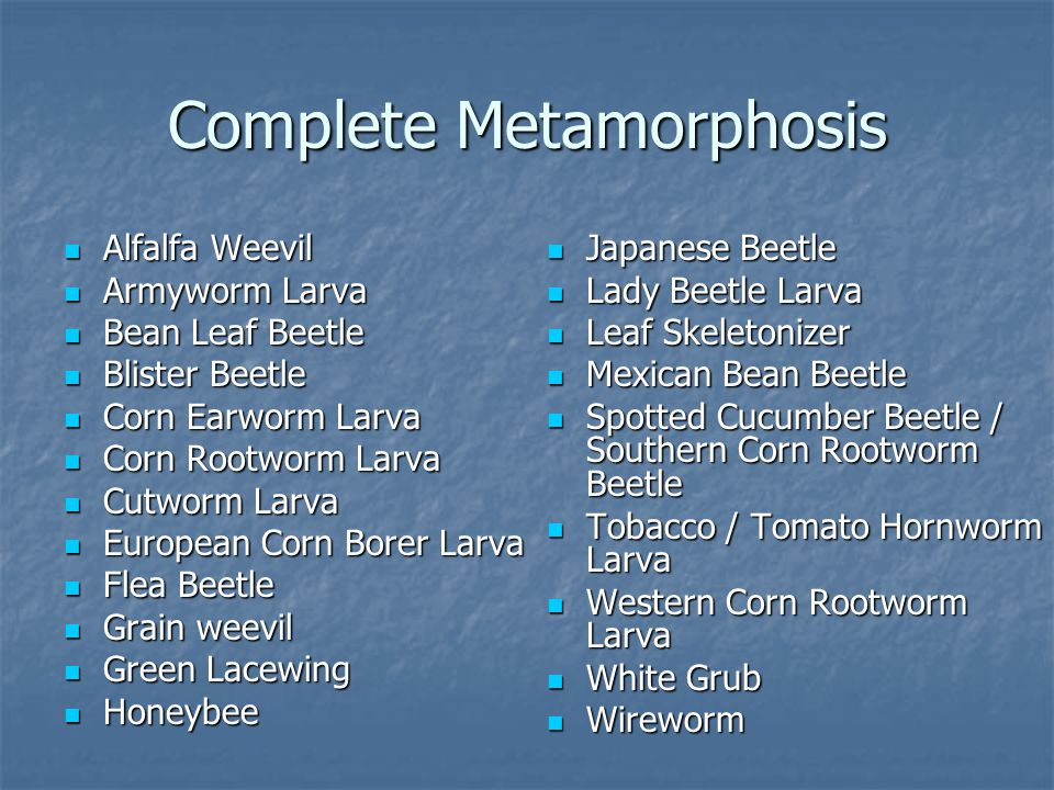 Complete Metamorphosis Alfalfa Weevil Alfalfa Weevil Armyworm Larva Armyworm Larva Bean Leaf Beetle Bean Leaf Beetle Blister Beetle Blister Beetle Corn Earworm Larva Corn Earworm Larva Corn Rootworm Larva Corn Rootworm Larva Cutworm Larva Cutworm Larva European Corn Borer Larva European Corn Borer Larva Flea Beetle Flea Beetle Grain weevil Grain weevil Green Lacewing Green Lacewing Honeybee Honeybee Japanese Beetle Japanese Beetle Lady Beetle Larva Lady Beetle Larva Leaf Skeletonizer Leaf Skeletonizer Mexican Bean Beetle Mexican Bean Beetle Spotted Cucumber Beetle / Southern Corn Rootworm Beetle Spotted Cucumber Beetle / Southern Corn Rootworm Beetle Tobacco / Tomato Hornworm Larva Tobacco / Tomato Hornworm Larva Western Corn Rootworm Larva Western Corn Rootworm Larva White Grub White Grub Wireworm Wireworm