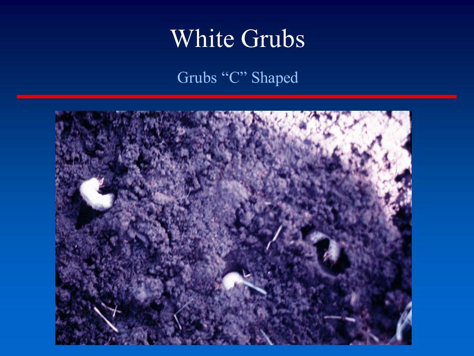 "White Grubs Grubs ""C"" Shaped"
