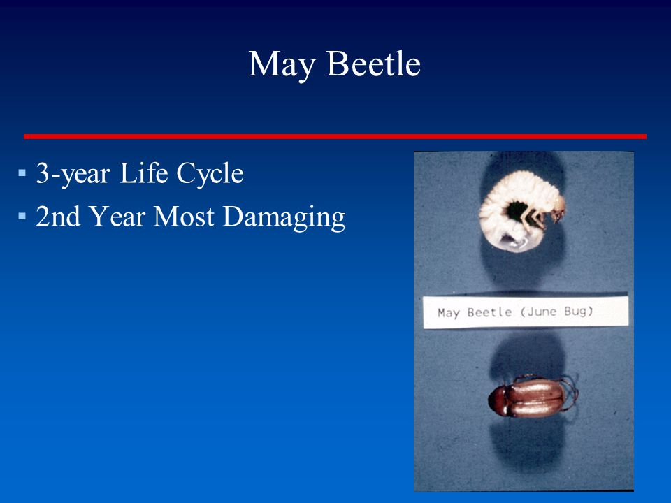 May Beetle ▪3-year Life Cycle ▪2nd Year Most Damaging