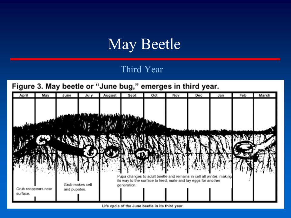 May Beetle Third Year