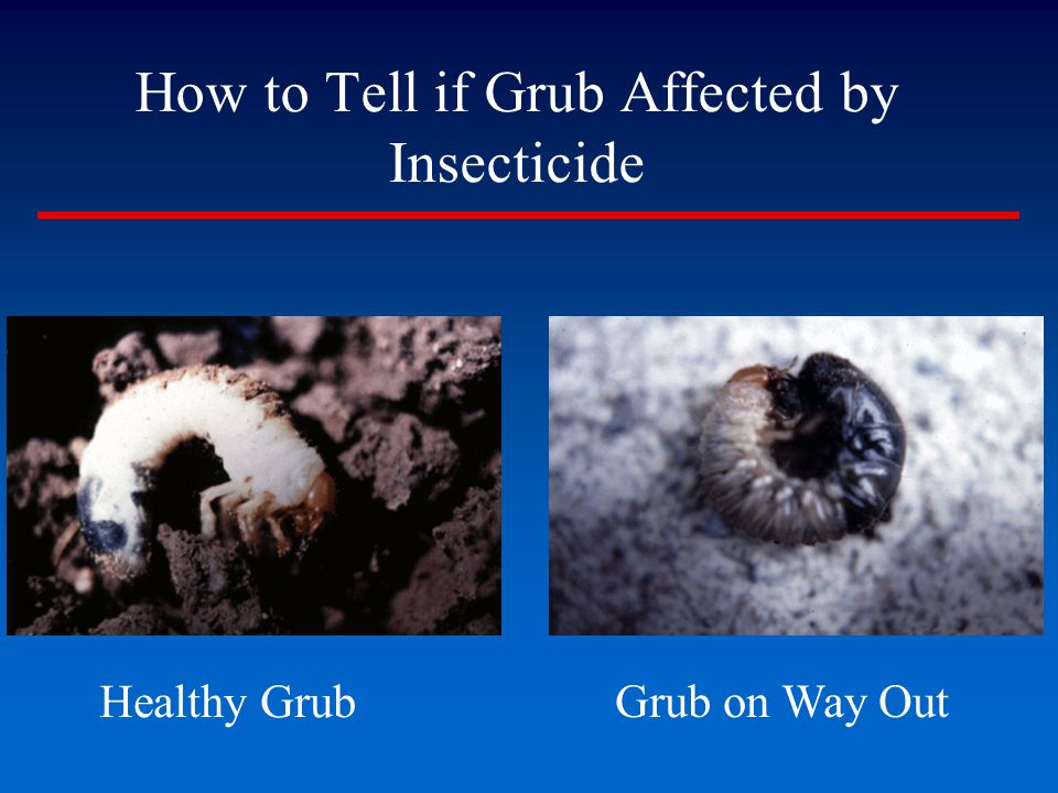 How to Tell if Grub Affected by Insecticide Grub on Way Out Healthy Grub