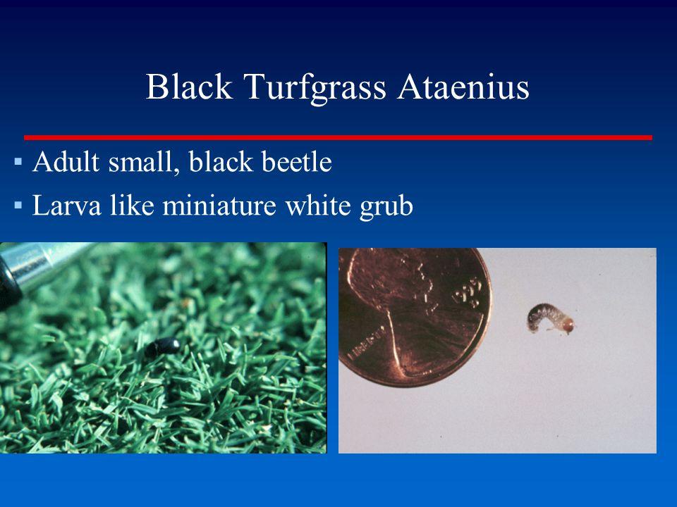 Black Turfgrass Ataenius ▪Adult small, black beetle ▪Larva like miniature white grub