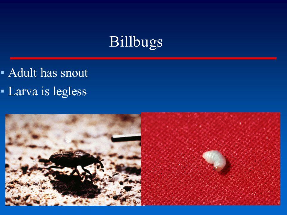 Billbugs ▪Adult has snout ▪Larva is legless