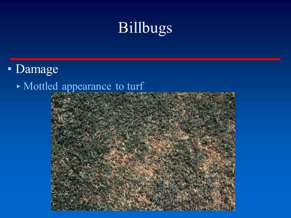 Billbugs ▪Damage ▸ Mottled appearance to turf