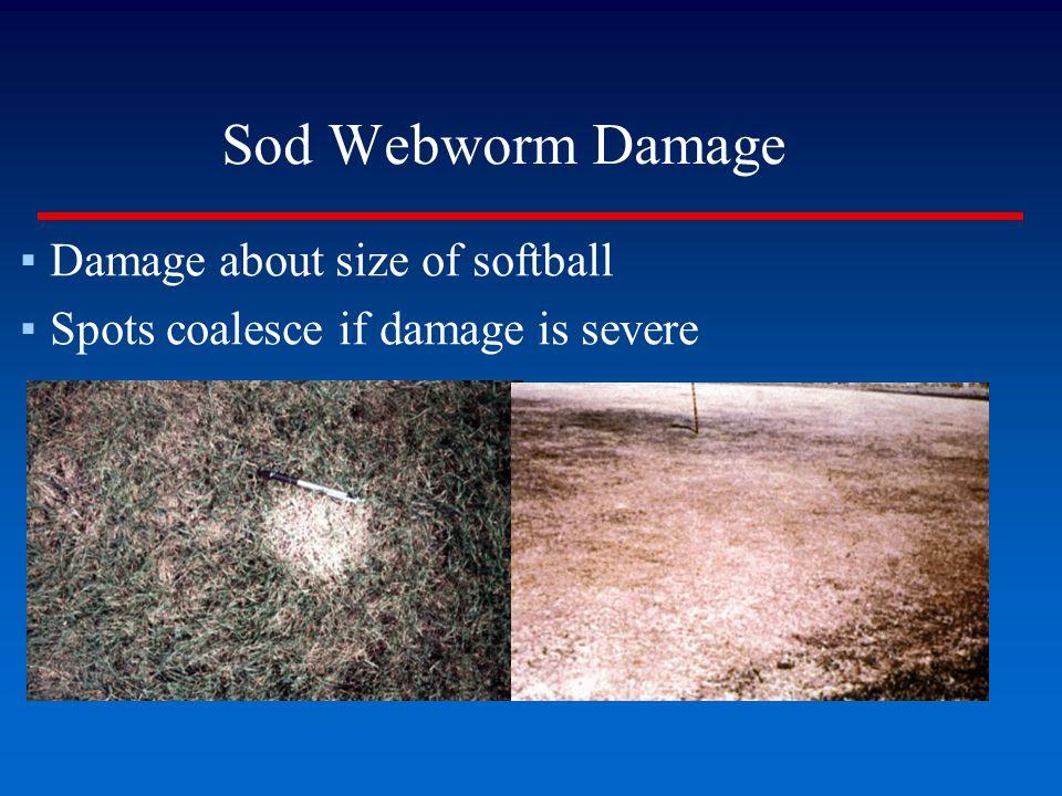 Sod Webworm Damage ▪Damage about size of softball ▪Spots coalesce if damage is severe