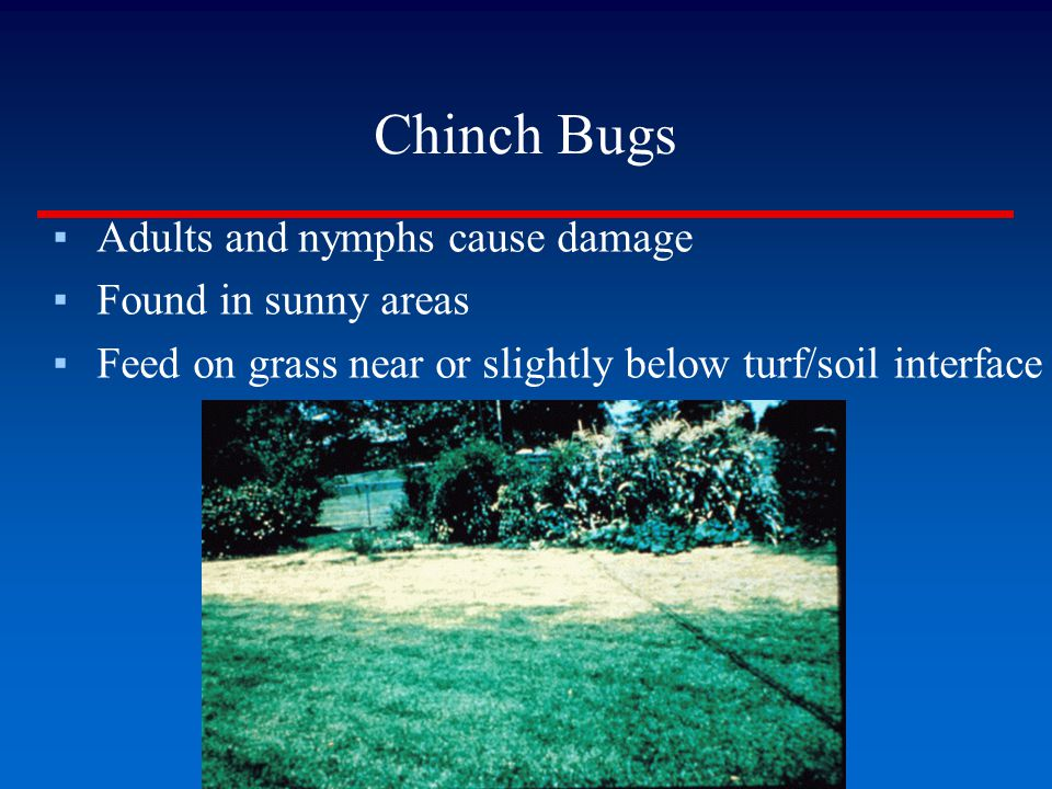 Chinch Bugs ▪Adults and nymphs cause damage ▪Found in sunny areas ▪Feed on grass near or slightly below turf/soil interface