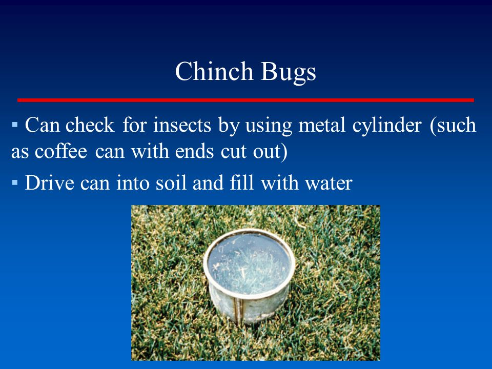Chinch Bugs ▪Can check for insects by using metal cylinder (such as coffee can with ends cut out) ▪Drive can into soil and fill with water
