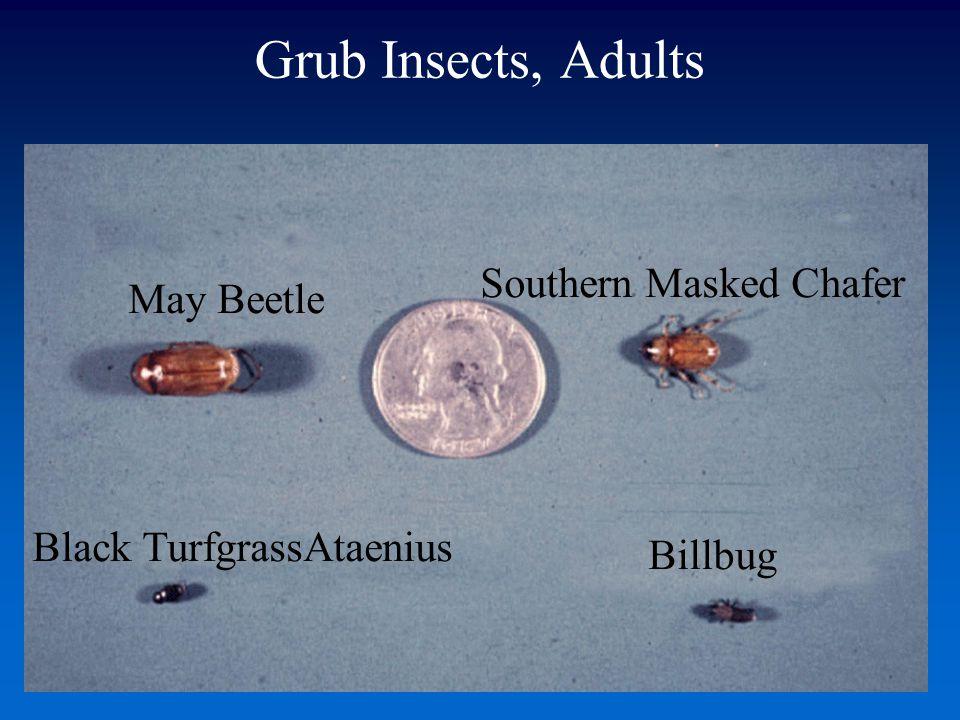 Grub Insects, Adults May Beetle Southern Masked Chafer Black TurfgrassAtaenius Billbug